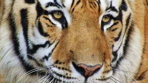 An amazing Bengal tiger close up on face in 4k looking to the right of camera.