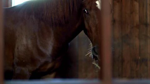 Horse standing in stall and eating hay. Brown horse eating hay in stable. Horse breeding at livestock farm