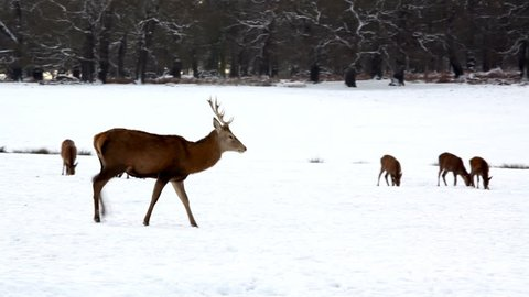 deer herd filmed inn richmond park london