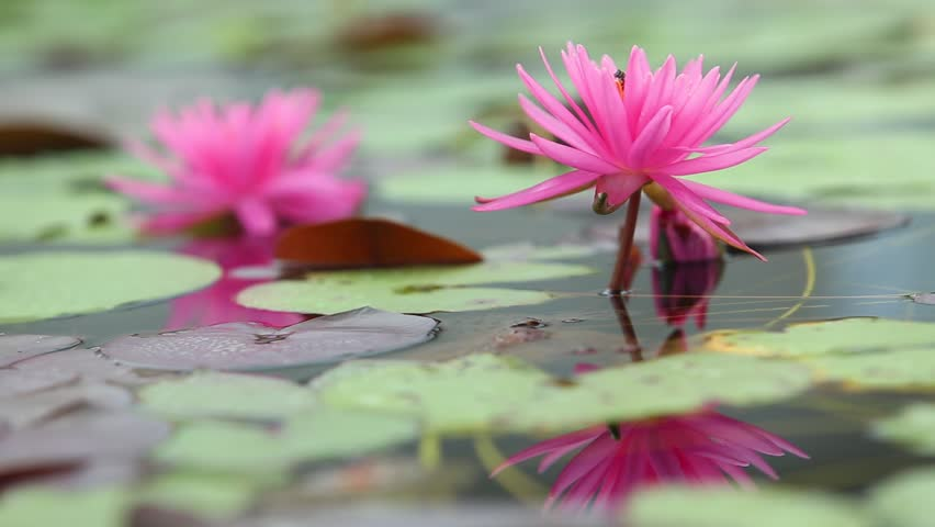 White lotus flower with bee stock footage video 18382510 shutterstock beautiful pink lotus flowers lotuss first flower of the world bees collect some pollen mightylinksfo