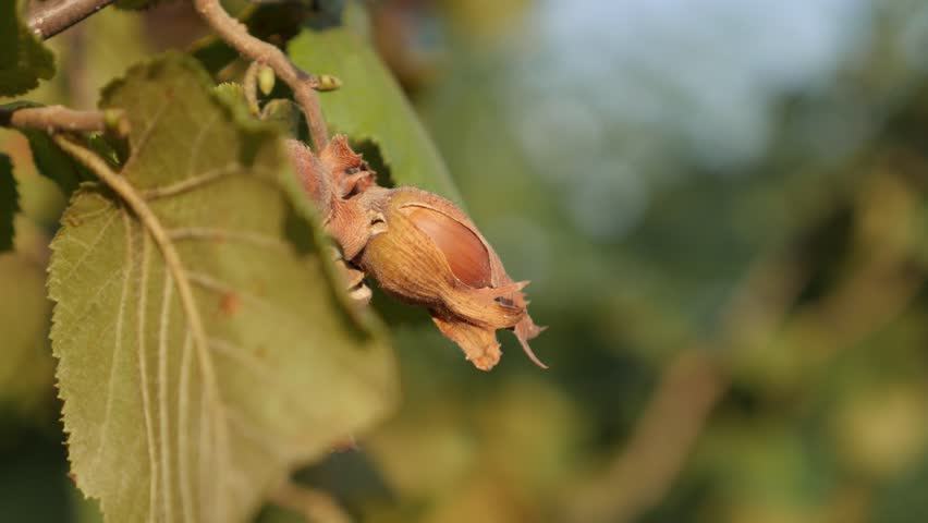 Common hazel autumn fruit shallow DOF 4K 2160p 30fps UltraHD footage - Close-up of Corylus avellana on tree branches 3840X2160 UHD video