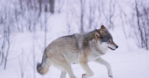 One wolf running in forest