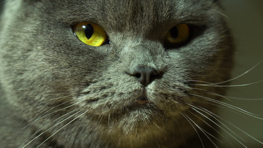 Angry female cat close up - 4K stock video clip