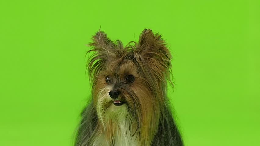Dog shows the language. Green screen. Slow motion #30933940
