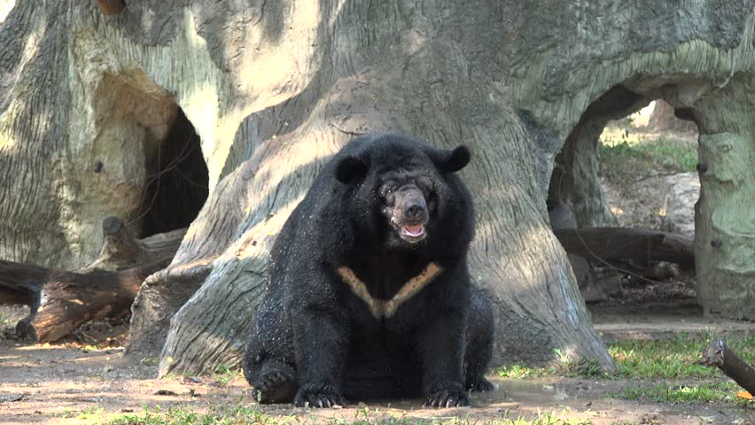 Asiatic black bear relaxing in a shower.