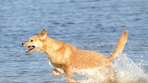 Athletic golden retriever puppy dog running and playing in water