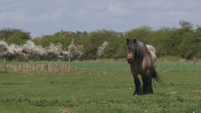 draft horse grazing in pasture, spring.  Large herbivore in typical Dutch river landscape with flowering blackthorn in background.