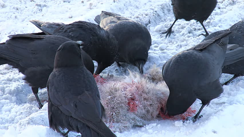 A murder of crows pecking at and rending the mangled flesh of a hapless