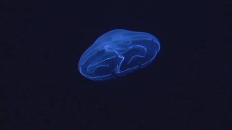 Aurelia aurita - moon jellyfish swimming upwards