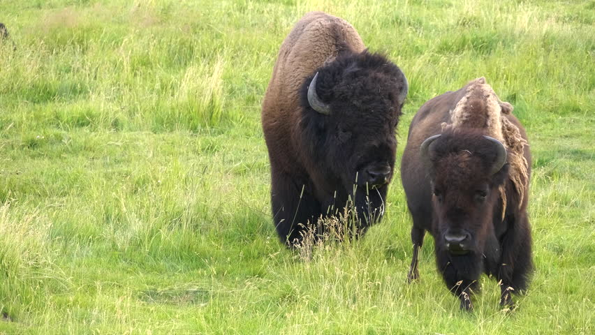 A bull bison follows a cow during the rut in yellowstone national park, usa | Shutterstock HD Video #31071910