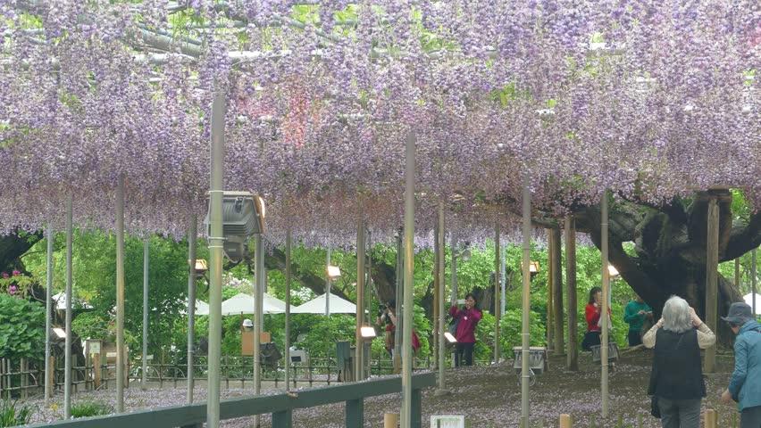 Ashikaga Gardens, Japan - May,10 2016 : The Beautiful Spring Flowers ...