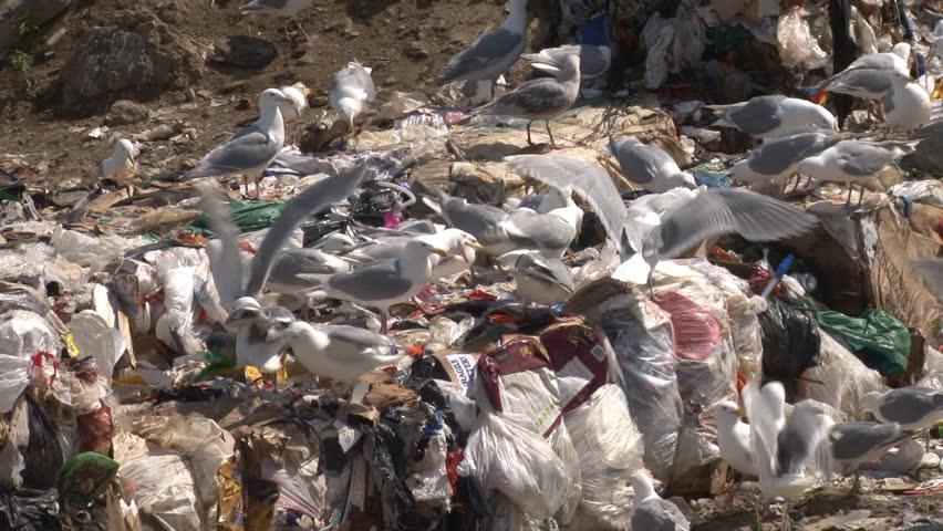 Gulls scavenging pile of garbage.