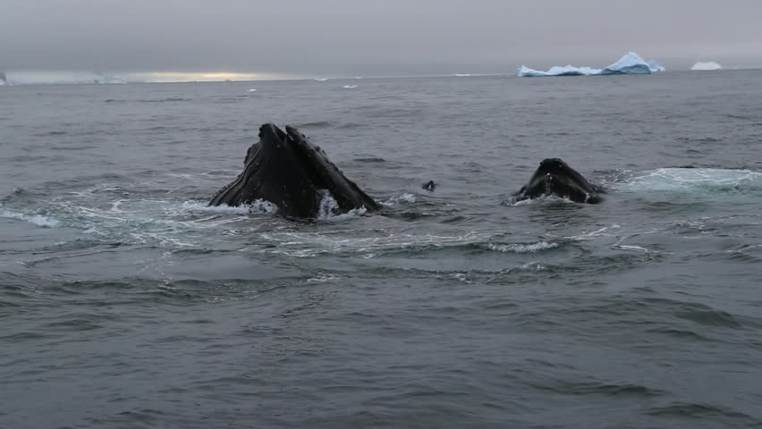 A flock of whales emerge with open mouths. Andreev. #31132540