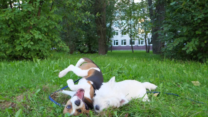 Two small dogs roughhousing on grass, lie and wrestle. Slow motion shot of funny battle, open jaws and paws in air. Young beagle struggle with west highland white terrier. | Shutterstock HD Video #31342570