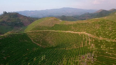 CIRCA 2010s - Coban, Guatemala - Aerial over a young coffe plantation on hillsides in Coban Guatemala.