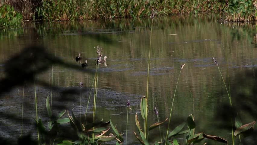 Wild ducks on nature   Shutterstock HD Video #31370260