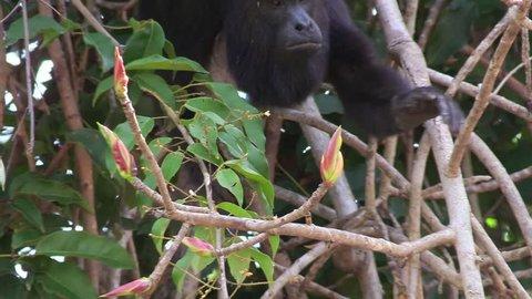 CIRCA 2010s - Yucatan, Mexico - A howler monkey eats in the jungles of the Mexican Yucatan.