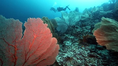 Scuba diving over huge gorgonian sea fan coral at Pulau Weh, Aceh
