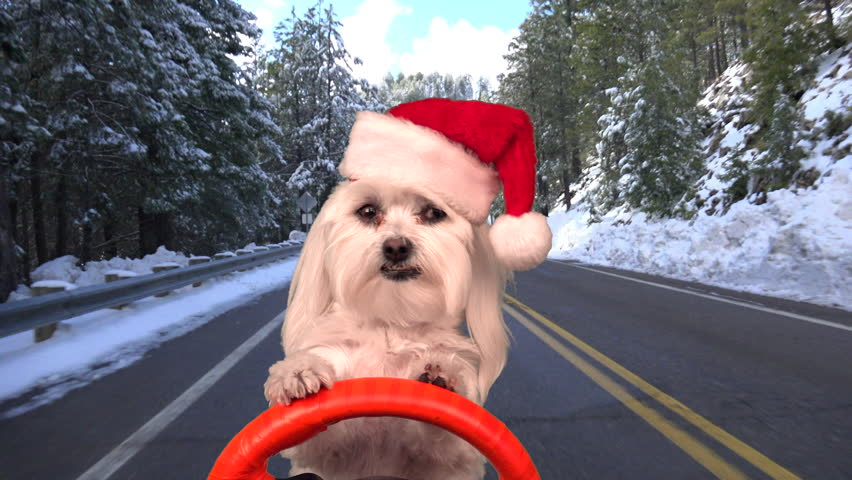Christmas dog wears Santa hat, steers car, drives on snowy, winter road. 4K UHD 3840x2160