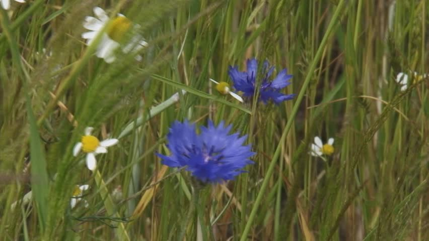 blooming cornflowers and chamomile at field edge waving rye field - close up. Beautiful wild flowers return in crop fields if farmers use less fertilizer.
