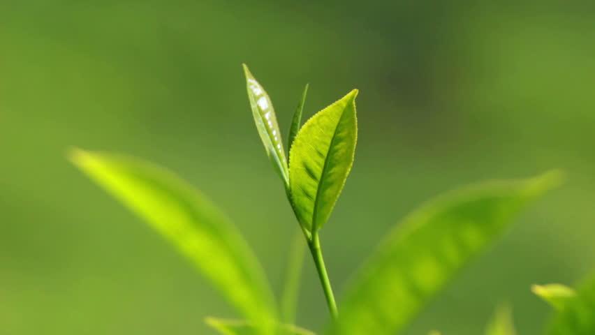 tea plants close-up in Munnar Kerala India