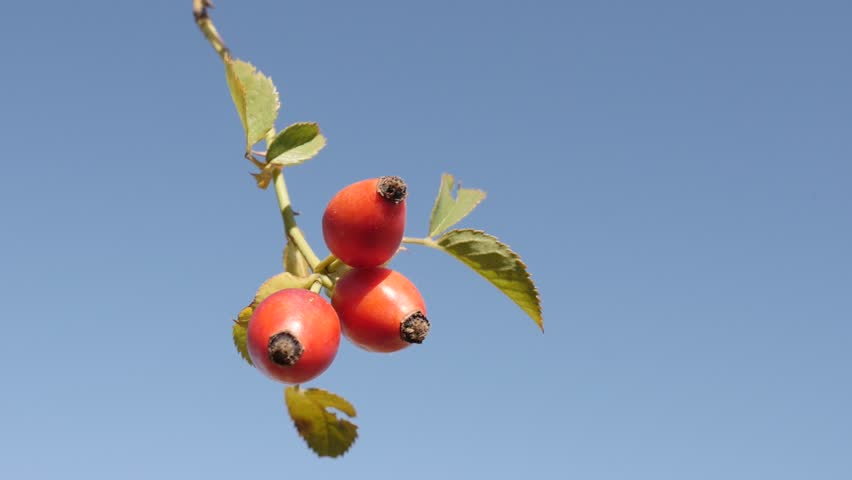 Rose hips on the wind slow-mo 1080p FullHD tilting footage - Rosa canina against blue sky slow motion 1920X1080 HD video | Shutterstock HD Video #31507330