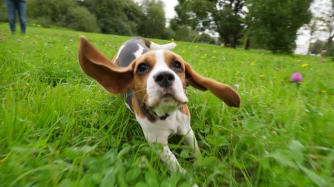 Curious beagle dog run at grass, chase moving camera, slow motion shot. Long ears flap and fly in air, doggy rush towards, look straight to camera. Happy puppy play he game with owner, have good time