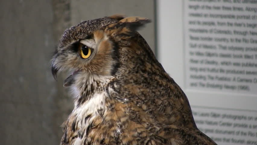 Tight HD clip of a the head and shoulders of a horned owl on display inside a local nature center