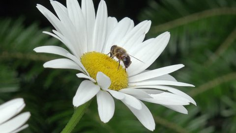 bee on white marguerite in the nature