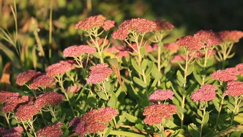 Flowers of stonecrop, lat. Sedum spectabile, swaying in the wind, with a smooth blur of focus