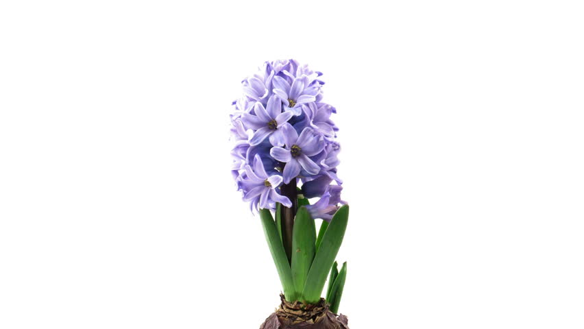 Time-lapse of growing blue hyacinth Christmas flower 1a isolated on white background
