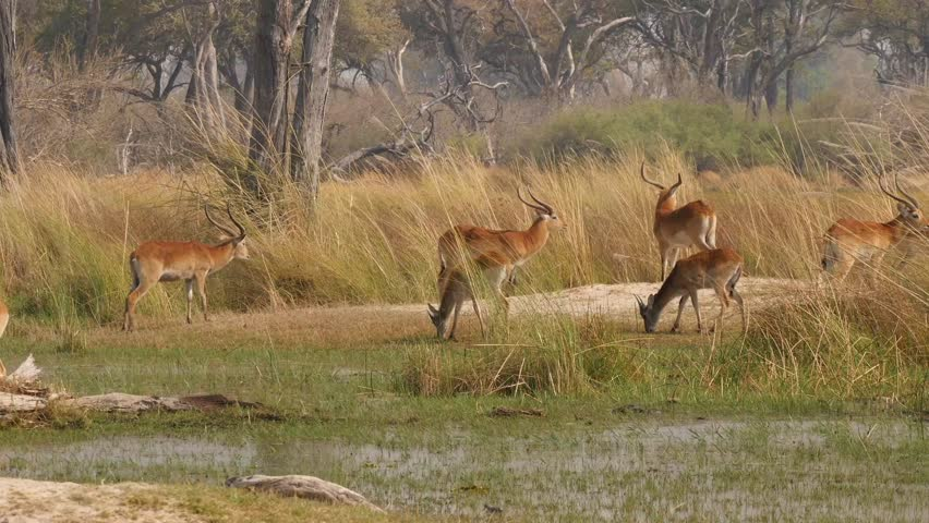 group of red lechwe in beautiful marshland #31652650