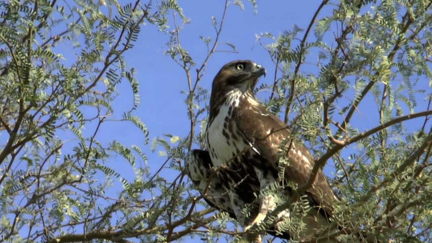 Piercing eyes of peregrine falcon search for prey as it perches in palo verde tree. 1080p