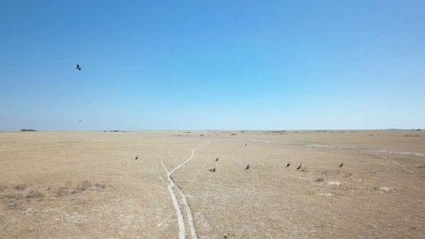 Group of vultures on barren Kalahari plain with small animal corpse next to pathway