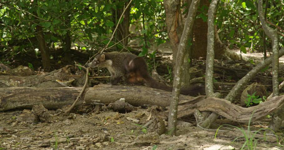 Animals Walks Along The Tropical Beach. Group Of South American Coatis  (Nasua Nasua)