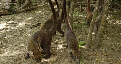 Nasua, coati, wild animals in search of food. Costa rica. RED cinema camera. The coati, genera Nasua and Nasuella, also known as the Coati-Mundi