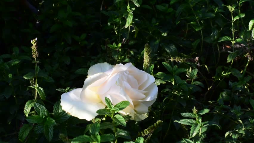 nice rose in my garden #31748800