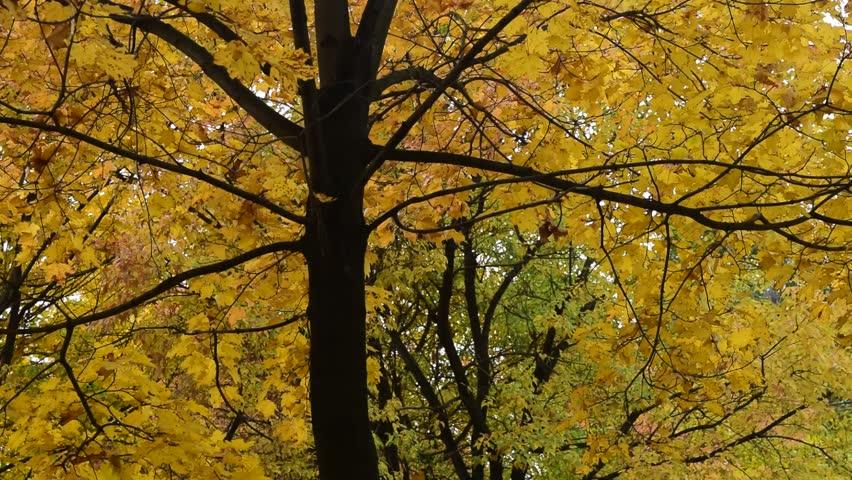 Beautiful leaf fall  trees. Seasonal footage. | Shutterstock HD Video #31838269