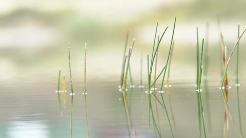 Young Reed in the River Young grass reeds on the lake in water and waves, autumn lake
