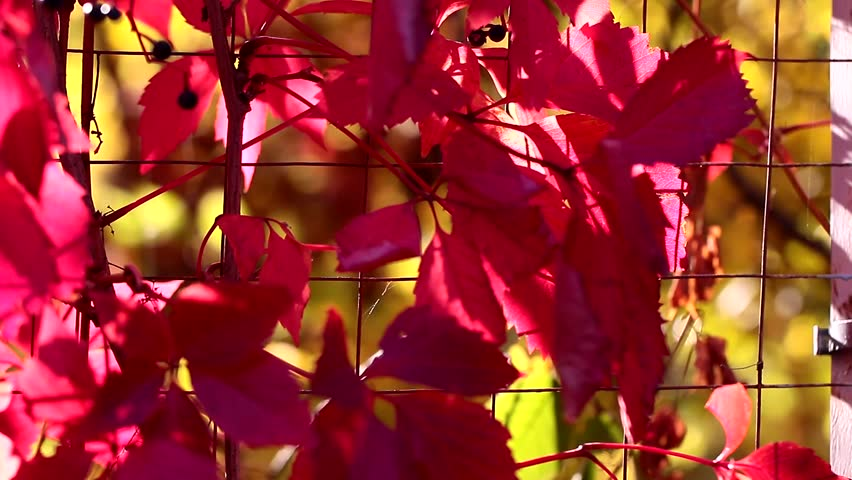 Beautiful autumn colorful leaves of wild grapes | Shutterstock HD Video #31859650