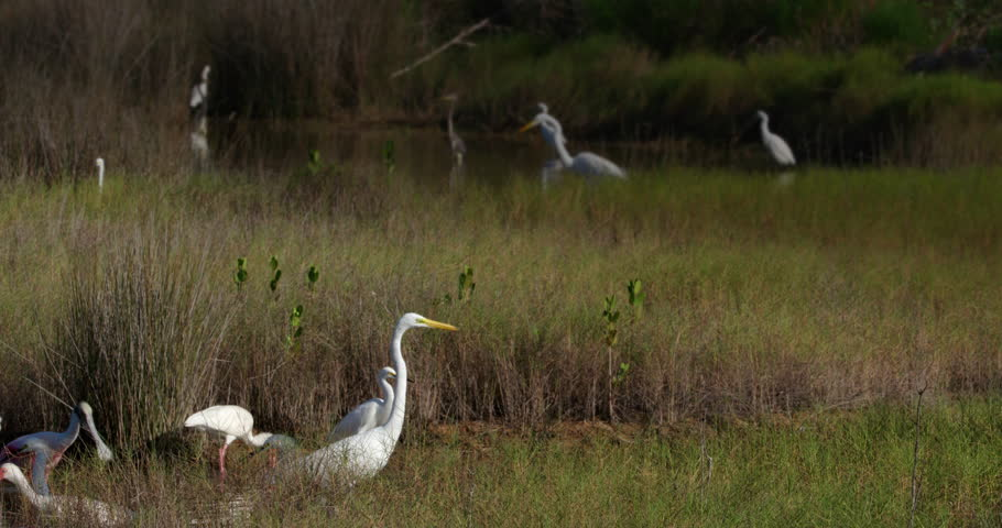 Many different shore birds and egrets feeding together in wetlands marsh