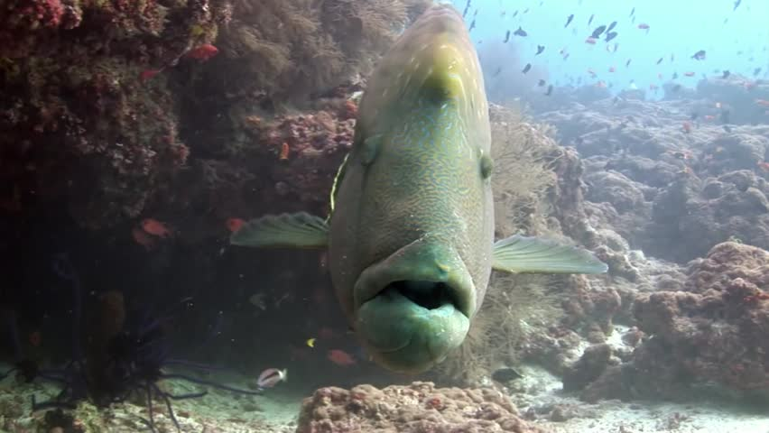 Napoleon fish wrasse closeup macro video underwater on seabed.Unique amazing video footage. Abyssal relax diving. Natural aquarium of sea and ocean. Beautiful animals.