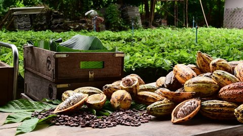 Fresh cocoa pod cut exposing cocoa seeds, with a cocoa plant in background.