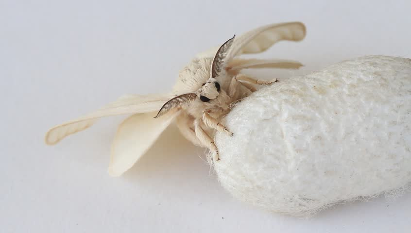 Silk Moth on Silk Cocoon