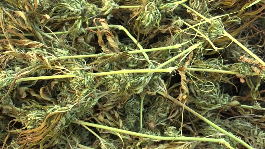 Medicinal cannabis hemp harvested dried a crate of seeds quality for the production of ointments and creams developed by scientists, science modern trend, seeds big bud with pistils, stigmas, EU