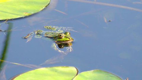 Marsh frog (Pelophylax ridibundus) is largest frog native to Europe and belongs to family of true frogs. It is very similar in appearance to the closely related edible frog and pool frog.
