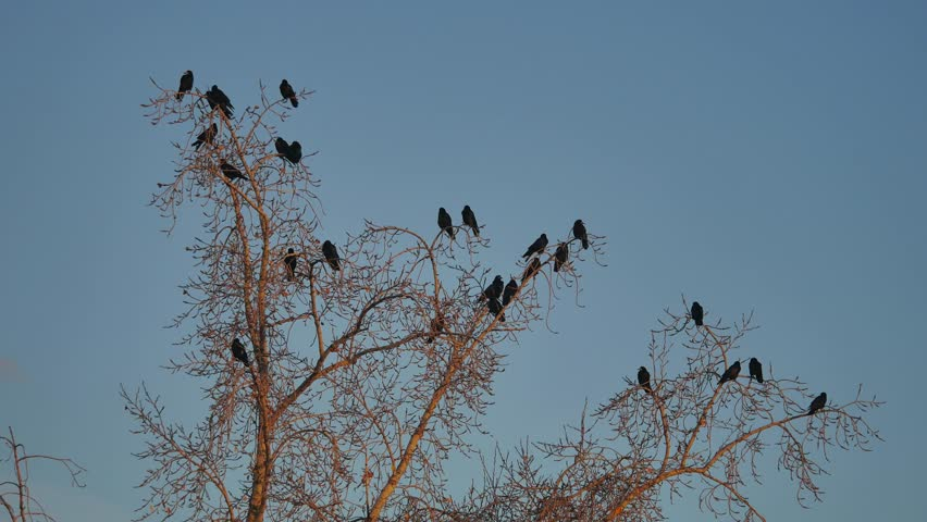 Flock of raven birds sitting on a tree dry branches of trees. crows birds autumn flock | Shutterstock HD Video #32023540