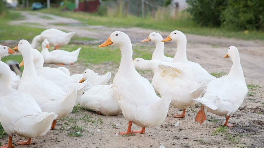 Farm duckling