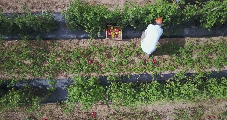 Aerial camera looking down at men picking tomatoes takes off and ascends quickly to reveal a field of tomato plants and a tractor pulling a flatbed loaded