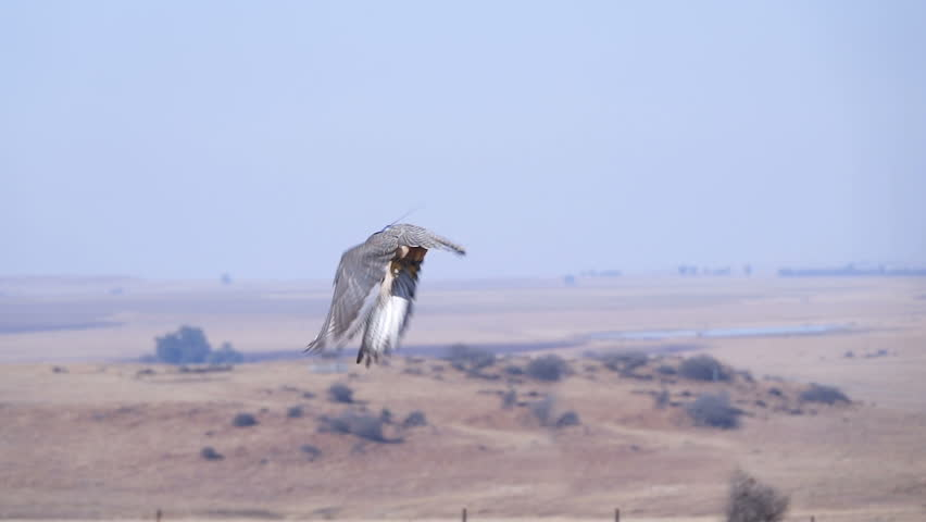 Lanner falcon flying close to camera in slow motion at eye level